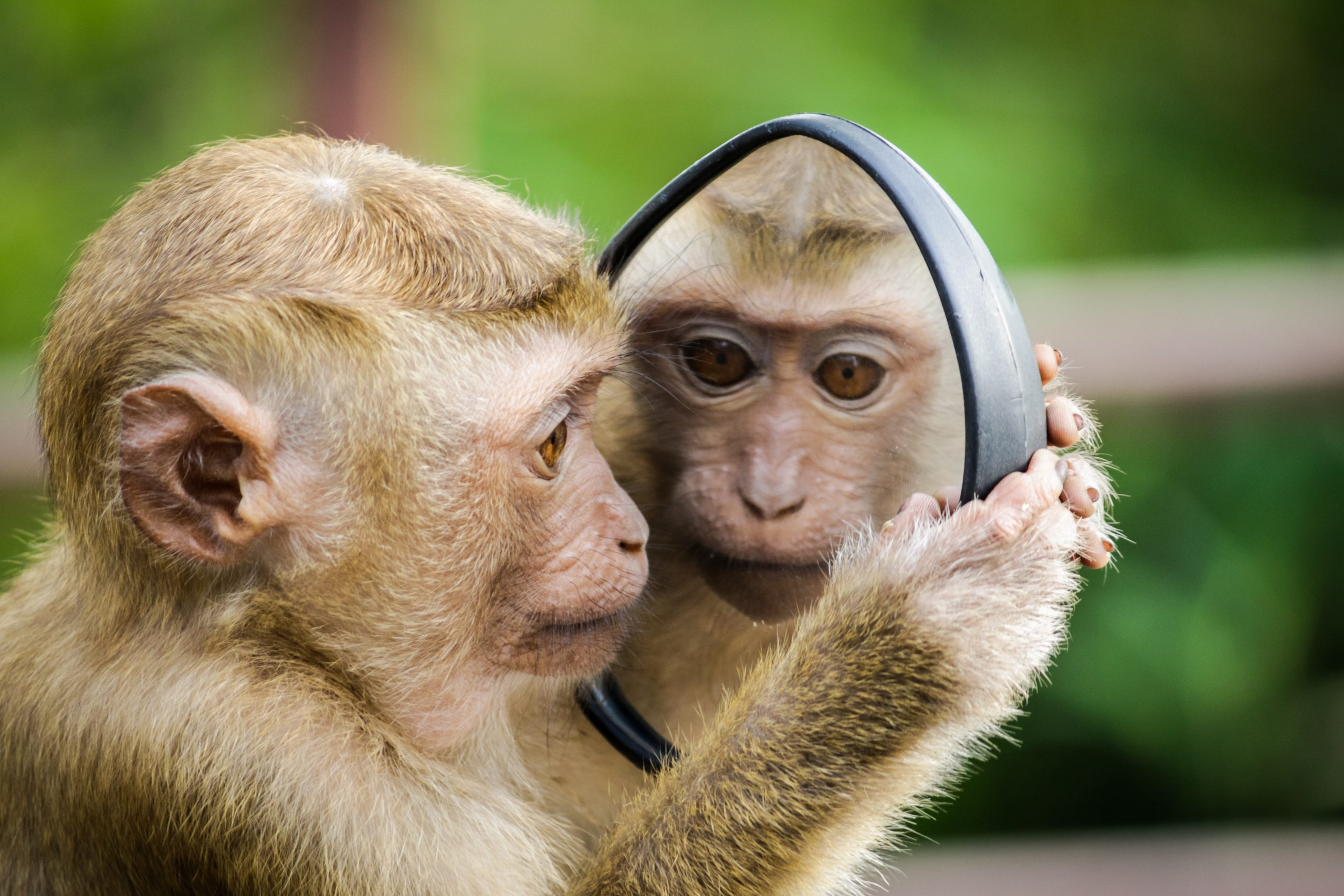 Monkey looking in a mirror at its reflection